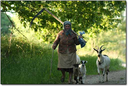 Babushka with goats