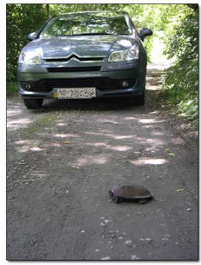 Turtle Crossing the Road