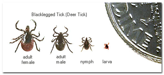 Blacklegged Deer Tick Stages Types